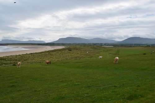 Landscape Ireland Nature Mountains Cows Reported