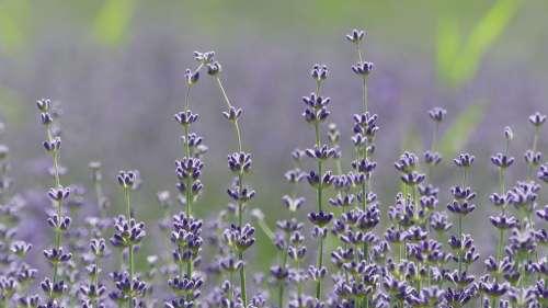 Lavender Plant Flora Purple Provence Nature Scent