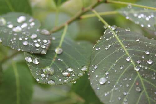 Leaves Rain Raindrops Nature Rainy Day Closeup