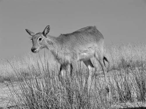Lechwe Marsh Antelope Antelope Africa Moor Antelope