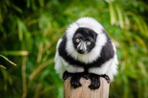 Lemur Madagascar Primate Funny Curious Portrait
