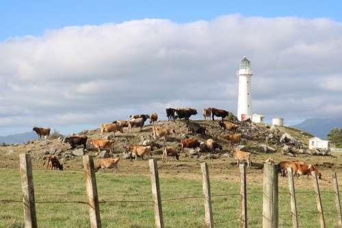 Lighthouse Farm Cows Hill Blue Sky Fence