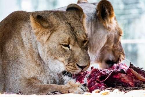 Lion Predators Big Cats Dangerous Eat Meat