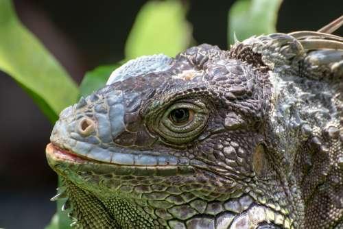 Lizard Reptile Animal Iguana Nature Close Up