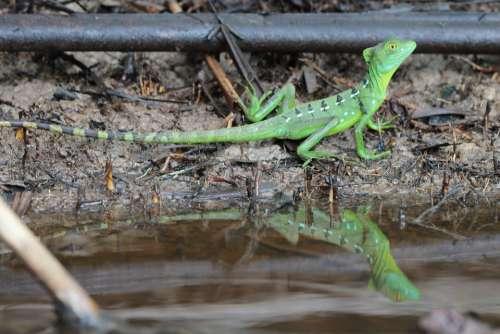 Lizard Animal Reptile