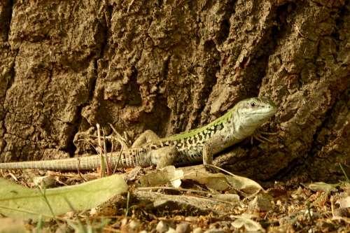 Lizard Nature Reptile Green Animal Creature