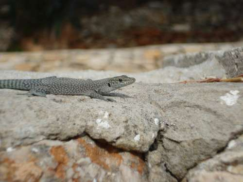 Lizard Stone Reptile Nature Animal Lizards Rock