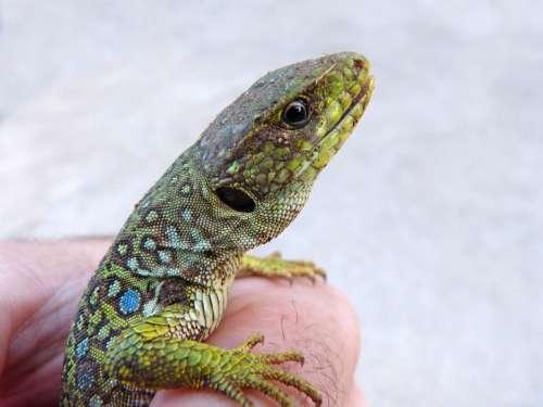 Lizard Ocellated Lizard Quad Lepidus Scales Reptile