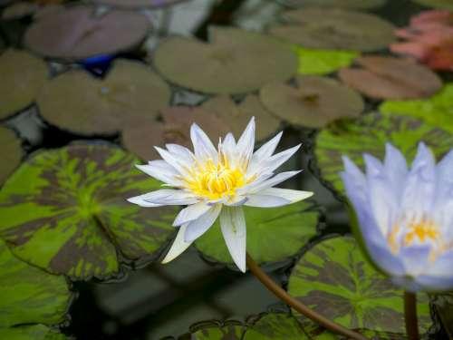 Lotus Flower Water Pond Tropical