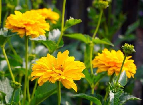 Mädchenauge Yellow Blossom Bloom Flower Garden
