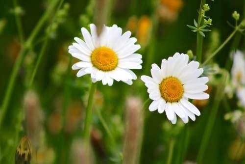 Marguerite Flower Plant Nature Blossom Bloom