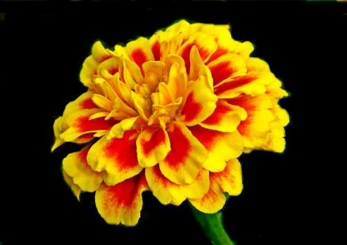 Marigold Flower Colored Nature Garden Summer