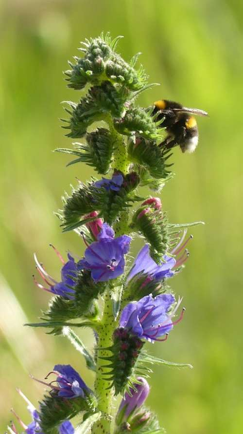 Meadow Hummel Blossom Bloom Blue Insect