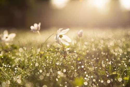 Morning Sip Wood Anemone Flower Dawn Light Spring