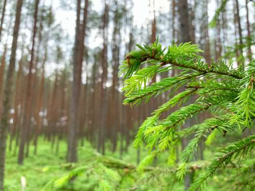 Nature Trees Green Fir Forest Latvia