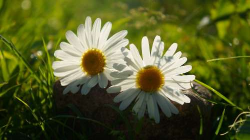 Nature Plants Two Daisy White The Petals