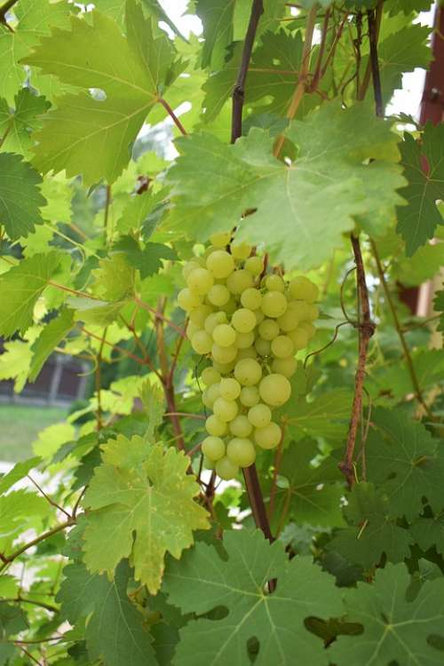 Nature Grapes Green Fruit Loza Healthy Wine