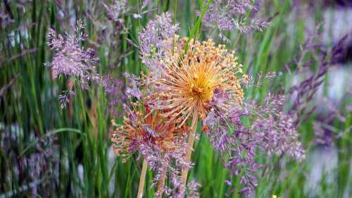Ornamental Onion Allium Faded Grasses Nature