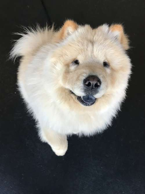 Ottothechowchow Show Dog Handsome Dog Dog Rescue