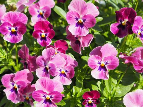 Pansy Plant Flower Spring Nature Garden Bloom
