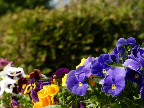 Pansy Garden Flowers Spring Nature Plant Blossom