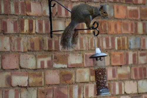 Peanuts Sneaky Treerat Rat Squirrel Thief Nuts