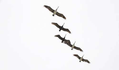 Pelikan Flying Bird Animal Water Bird In Flight