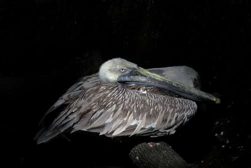 Pelikan Brown Bill Dormant Water Bird Bird