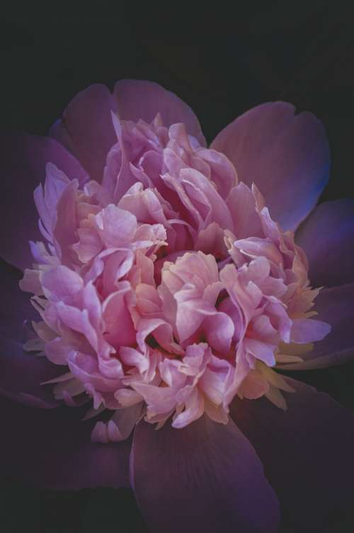 Peony Flower Gloomy Gothic Twilight Bud Bloom