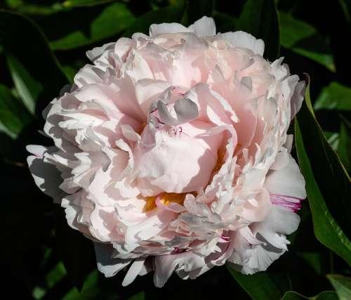 Peony Blossom Bloom Lush White Pink Flora Garden