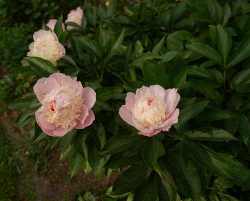 Peony Flowers Flora Summer Garden Bloom Romantic