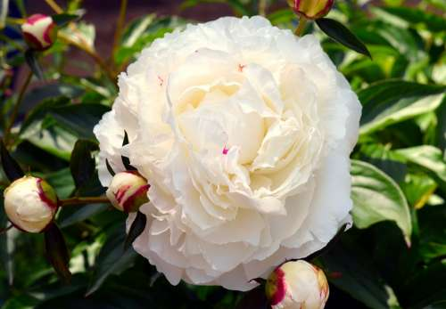 Peony White White Peony Flower Blossom Bloom