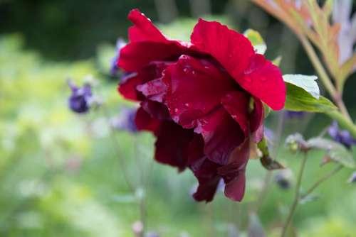 Peony Flower Blossom Bloom Bloom Summer