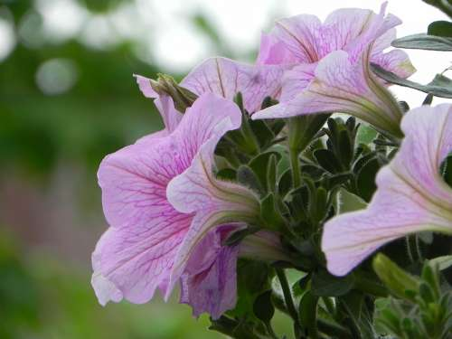 Petunia Summer Spring Blossom Bloom Plant