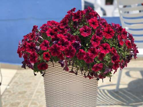 Petunia Flowers Bright Basket
