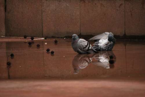 Pigeons Water Dirty City