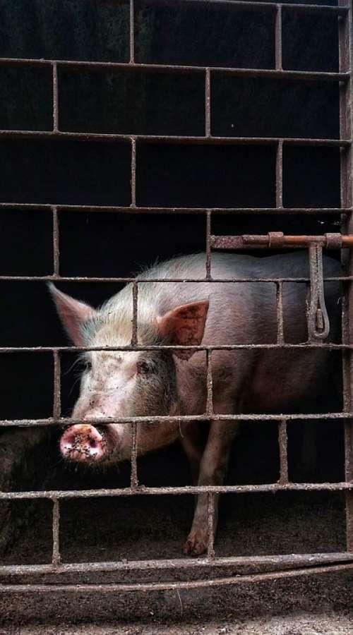 Pigs Animal Wildlife Black Dark Village