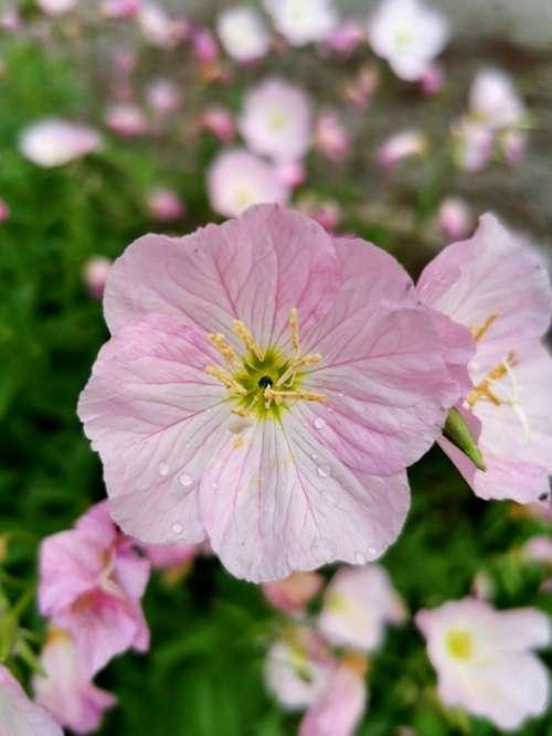 Pink Flower Bloom Petunia