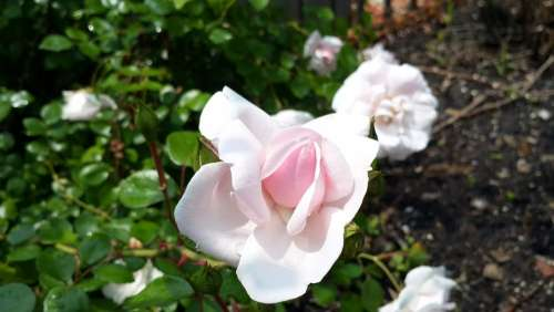 Pink Rose Flower Flower Pink Floral Garden Bouquet