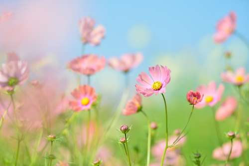 Plant Flowers Natural Green Flower Garden Cosmos