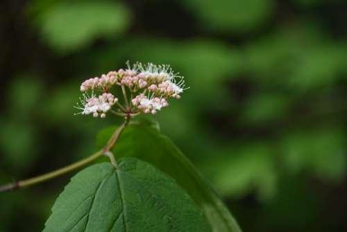 Plant Bud Vine Blossom White