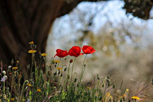 Poppies Flowers Floral Wild Red Flower Field