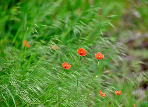 Poppies Nature Spring Flower Bloom Flora