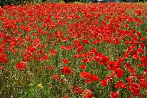 Poppies Flowers Landscape Red Field