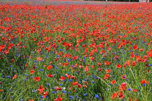 Poppies Poppy Field Field Of Poppies Poppy