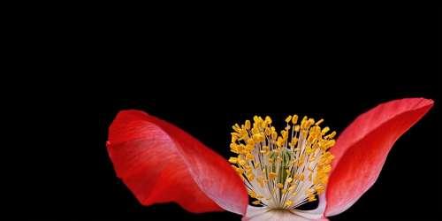 Poppy Plant Nature Macro Close Up Pistil Blossom