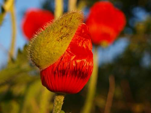 Poppy Bud Nature Blossom Bloom Klatschmohn