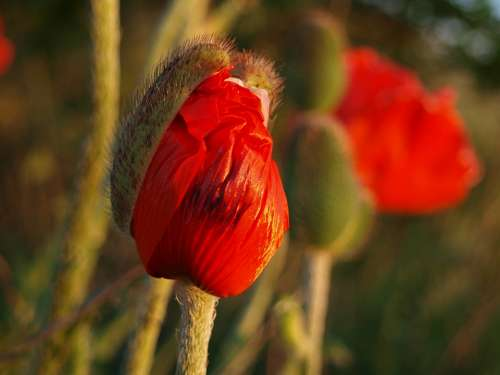 Poppy Poppy Flower Red Mohngewaechs Blossom Bloom