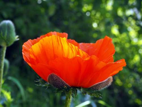 Poppy Garden Flower Blossom Bloom Plant Spring