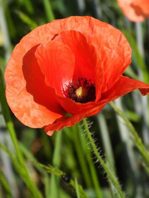 Poppy Field Meadow Flower Flowering Red Spring